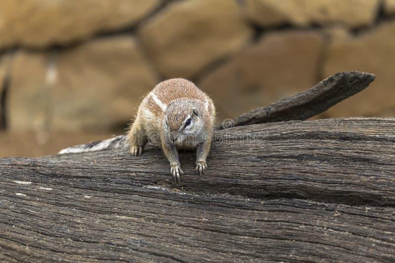Afrikaanse grondeekhoorns royalty-vrije stock foto