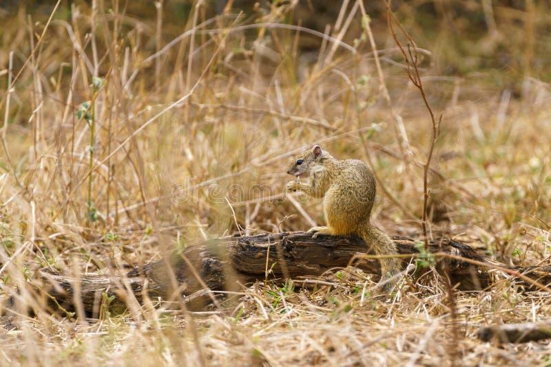 Afrikaanse grondeekhoorns & x28; soort Xerus& x29; in Zuid-Afrika stock foto's