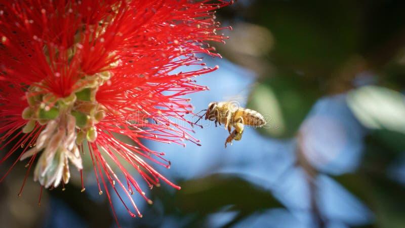 Afrikaanse Honingbij stock fotografie