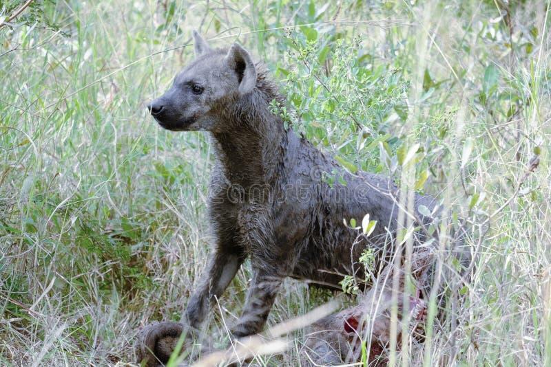 Afrikaanse hyena die zijdelings bovenop een karkas onder ogen zien royalty-vrije stock fotografie