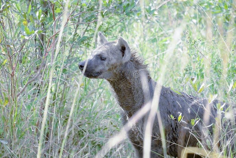 Afrikaanse hyena die zijdelings in de struik onder ogen zien stock afbeeldingen