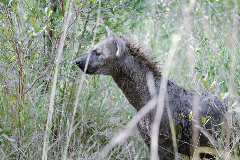 Afrikaanse hyena die zijdelings onder ogen zien stock afbeeldingen