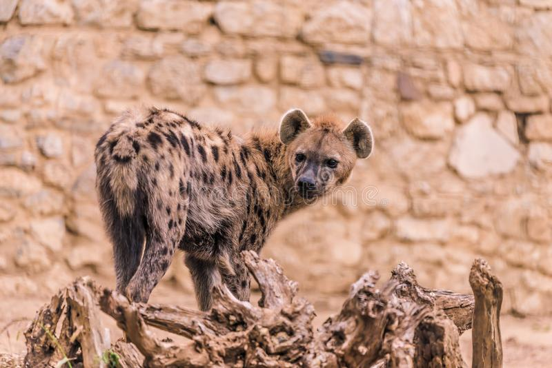 Afrikaanse Hyena in Dierentuin royalty-vrije stock afbeelding
