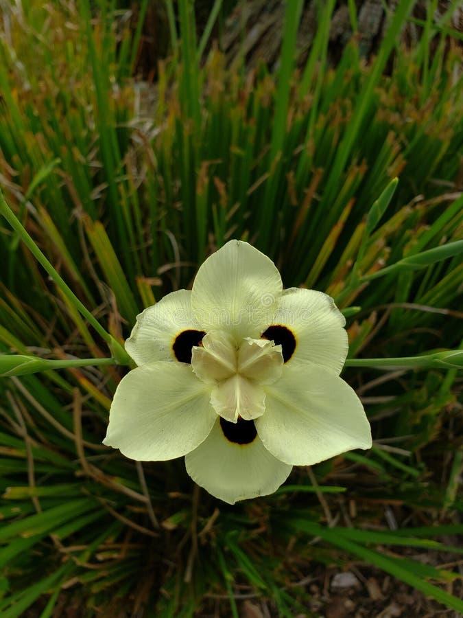 Afrikaanse Iris stock fotografie