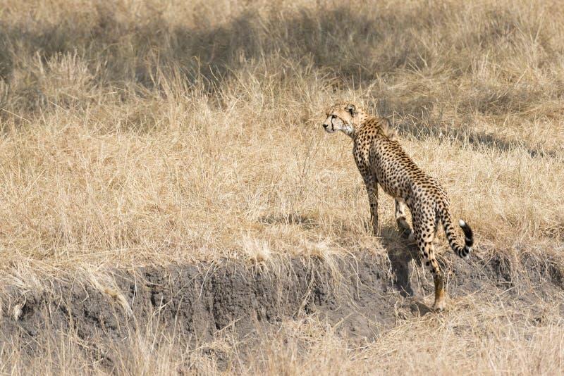 Afrikaanse jachtluipaard stock fotografie