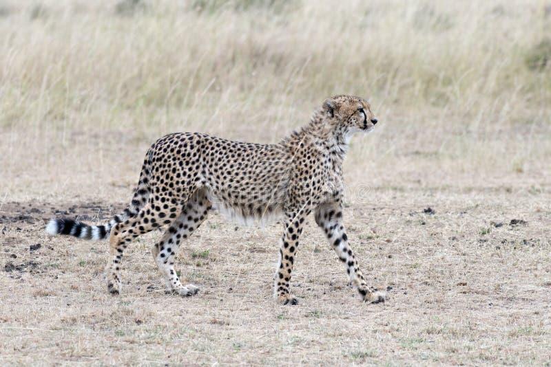 Afrikaanse jachtluipaard royalty-vrije stock foto's