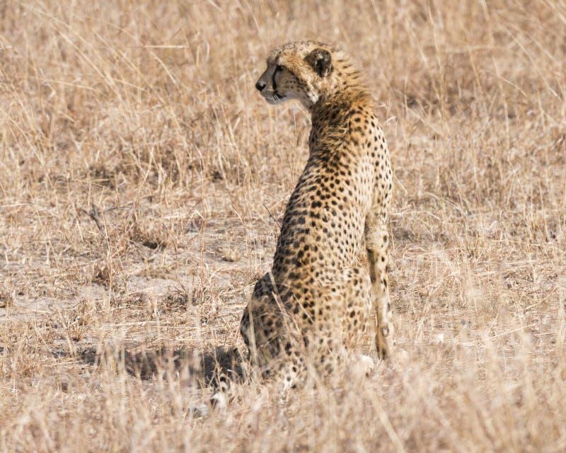 Afrikaanse Jachtluipaard royalty-vrije stock afbeelding