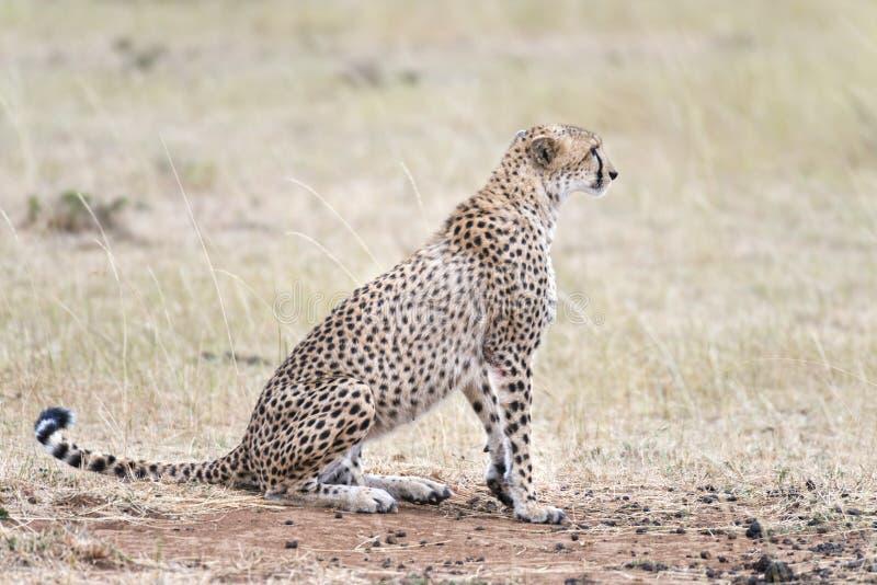 Afrikaanse Jachtluipaard royalty-vrije stock afbeeldingen