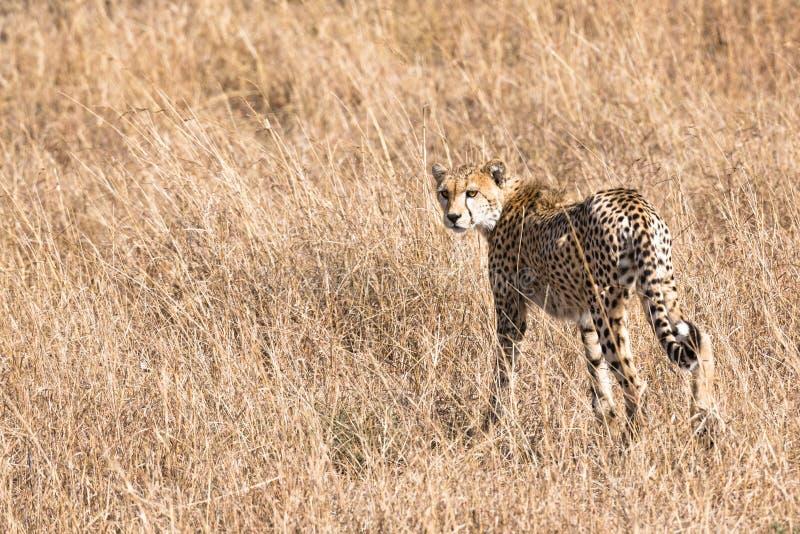 Afrikaanse Jachtluipaard stock afbeeldingen