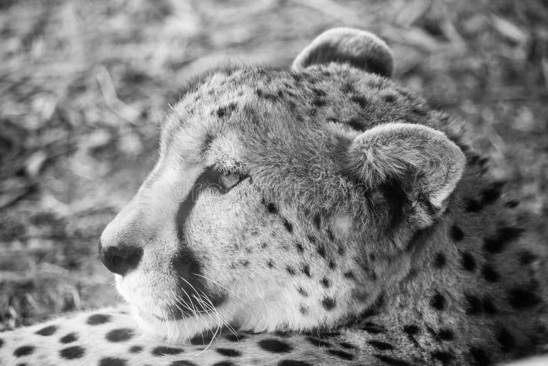 Afrikaanse Jachtluipaard royalty-vrije stock fotografie