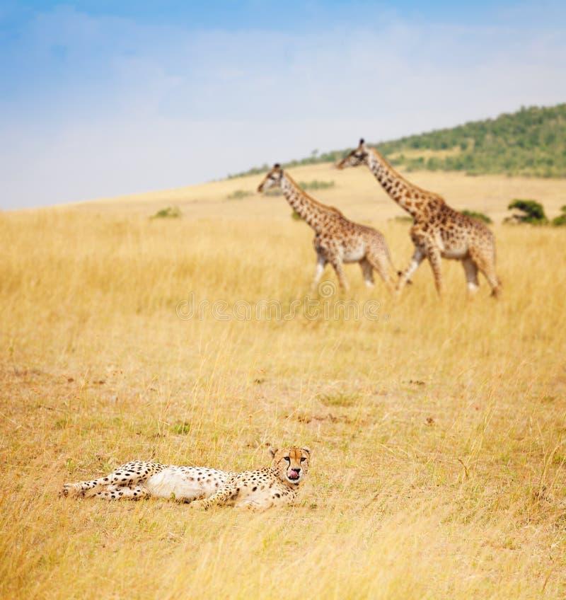 Afrikaanse jachtluipaard die op gras bij savanne, Kenia leggen royalty-vrije stock fotografie