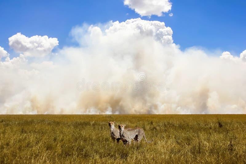 Afrikaanse jachtluipaarden op de achtergrond van de hemel en de wolken Rook stock fotografie