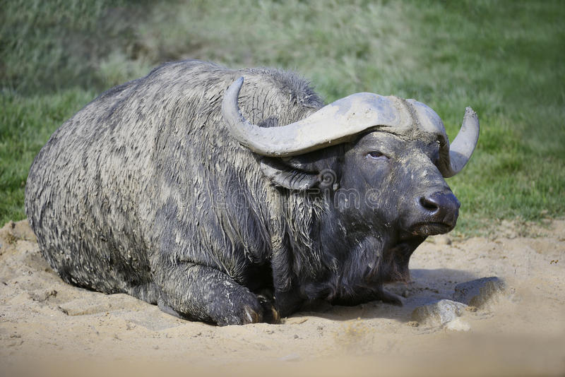 Afrikaanse Kaap Buffaloe Stock Foto