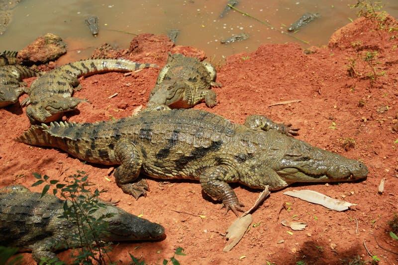 Afrikaanse krokodil stock foto