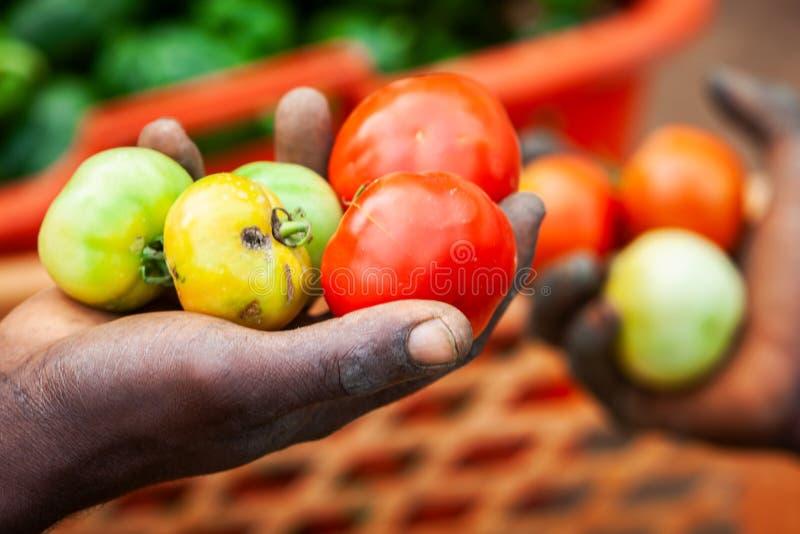 Afrikaanse landbouwers die de tomatenindustrie in Afrika plukken royalty-vrije stock foto