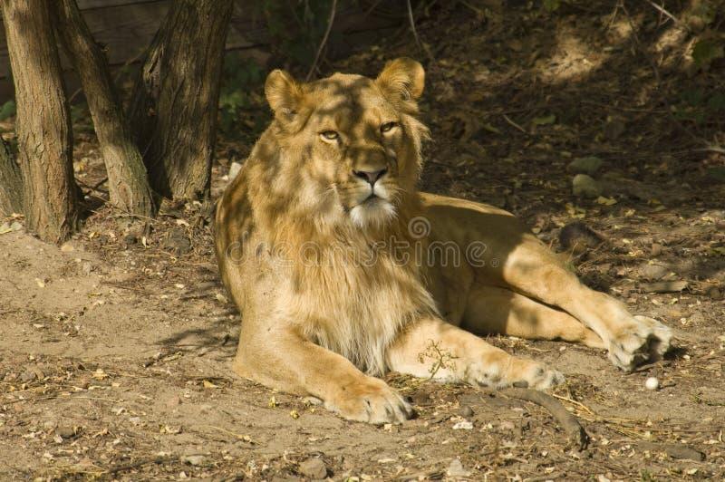 Afrikaanse leeuw stock foto's