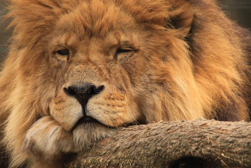 Afrikaanse leeuw royalty-vrije stock fotografie