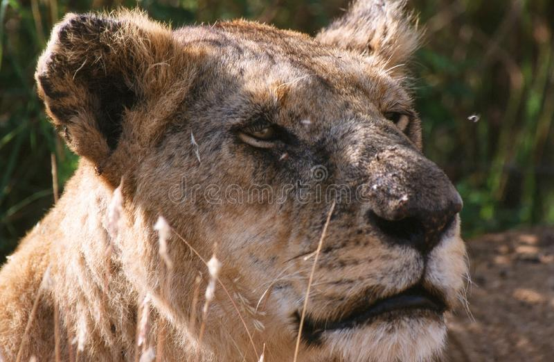 Afrikaanse Leeuw, African Lion, Panthera leo royalty free stock photography