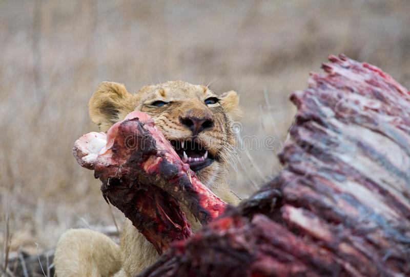 Afrikaanse Leeuw, African Lion, Panthera leo royalty free stock photo