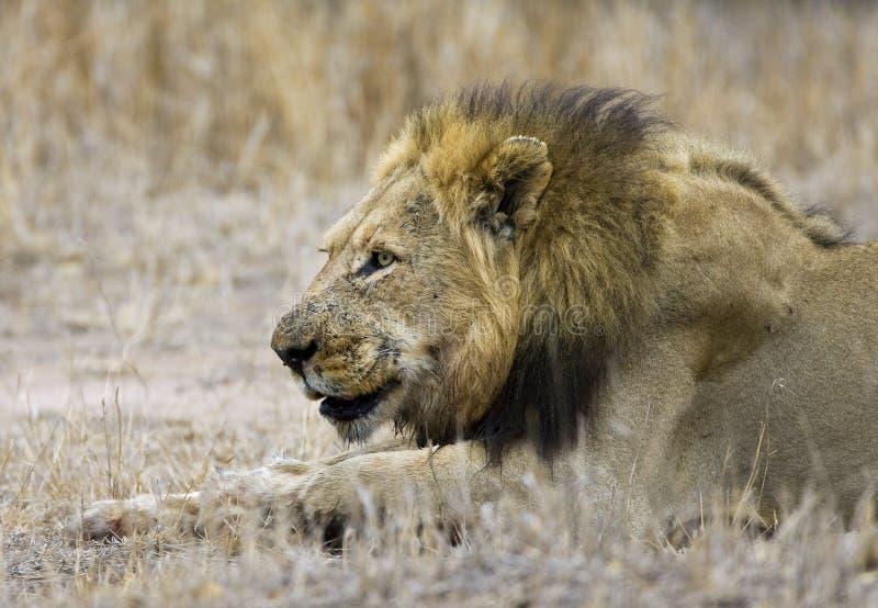Afrikaanse Leeuw, African Lion, Panthera leo stock image