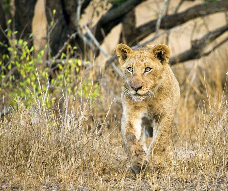 Afrikaanse Leeuw, African Lion, Panthera leo royalty free stock photos