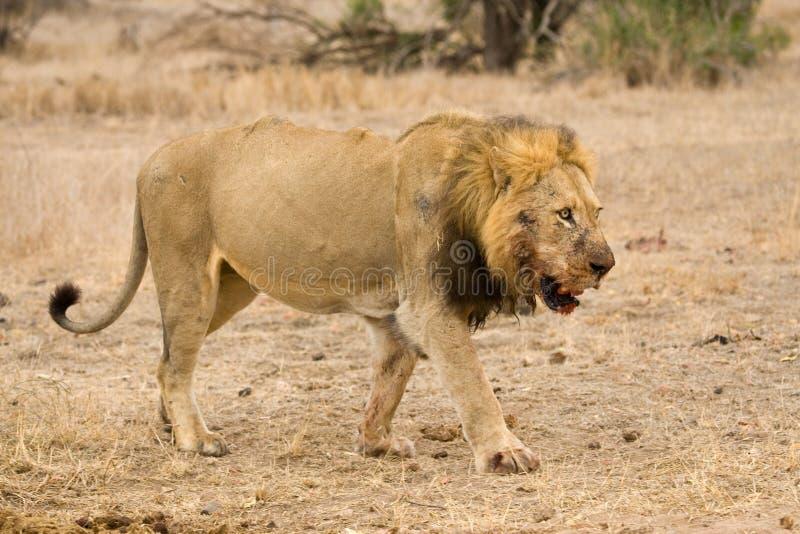 Afrikaanse Leeuw, African Lion, Panthera leo. Mannetje Afrikaanse Leeuw; Male African Lion, Panthera leo royalty free stock photography