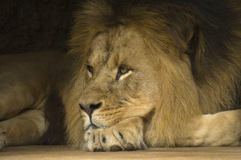 Afrikaanse Leeuw, Afrykański lew, Panthera Leo obrazy royalty free