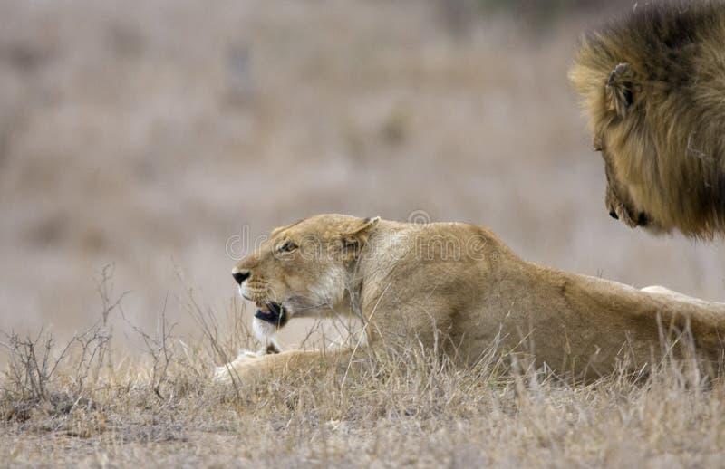 Afrikaanse Leeuw, Afrykański lew, Panthera Leo zdjęcie stock
