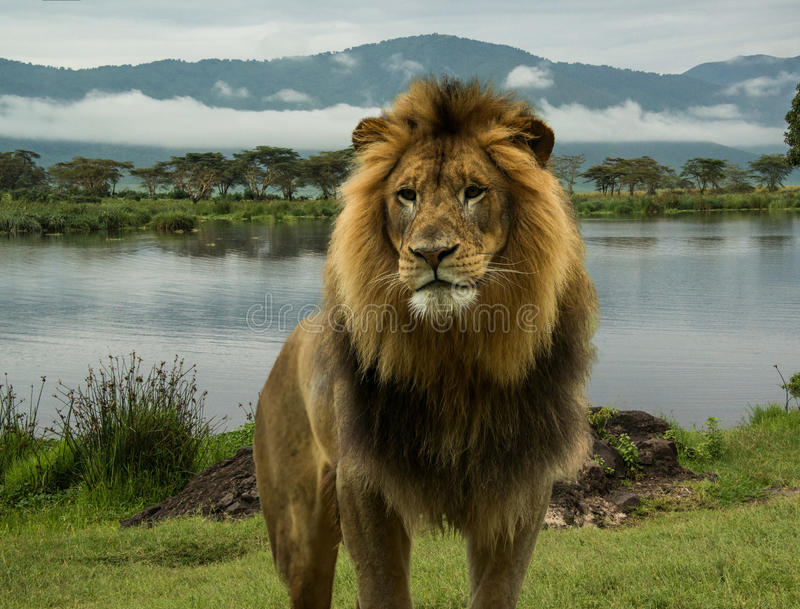 Afrikaanse leeuw bij meer in Serengeti stock afbeeldingen