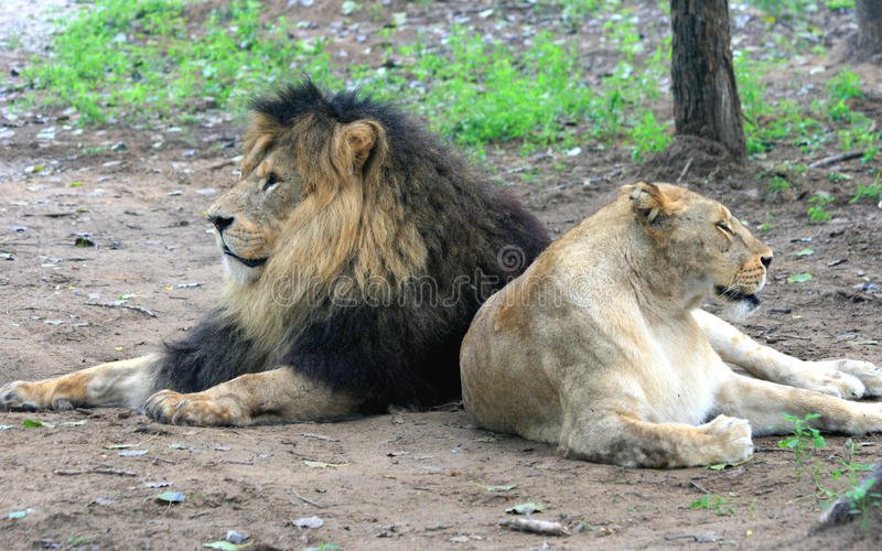 Afrikaanse leeuw en Afrikaanse leeuwin stock afbeeldingen