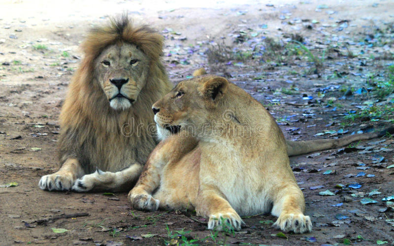 Afrikaanse leeuw en Afrikaanse leeuwin royalty-vrije stock foto's