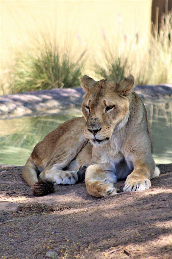 Afrikaanse Leeuw, het Centrum van de Dierentuinarizona van Phoenix voor Natuurbescherming, Phoenix, Arizona, Verenigde Staten royalty-vrije stock afbeelding