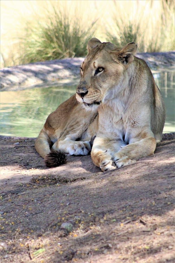 Afrikaanse Leeuw, het Centrum van de Dierentuinarizona van Phoenix voor Natuurbescherming, Phoenix, Arizona, Verenigde Staten royalty-vrije stock foto