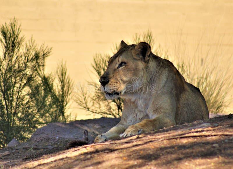 Afrikaanse Leeuw, het Centrum van de Dierentuinarizona van Phoenix voor Natuurbescherming, Phoenix, Arizona, Verenigde Staten stock afbeelding