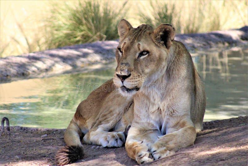 Afrikaanse Leeuw, het Centrum van de Dierentuinarizona van Phoenix voor Natuurbescherming, Phoenix, Arizona, Verenigde Staten stock fotografie