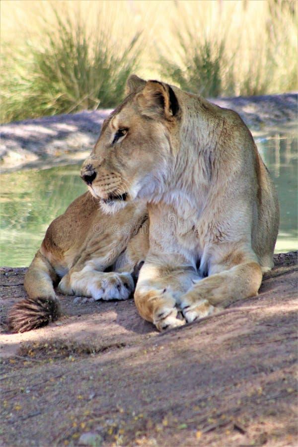 Afrikaanse Leeuw, het Centrum van de Dierentuinarizona van Phoenix voor Natuurbescherming, Phoenix, Arizona, Verenigde Staten stock afbeeldingen