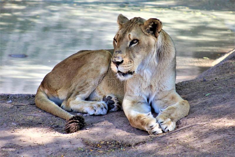 Afrikaanse Leeuw, het Centrum van de Dierentuinarizona van Phoenix voor Natuurbescherming, Phoenix, Arizona, Verenigde Staten royalty-vrije stock foto's