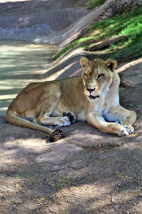 Afrikaanse Leeuw, het Centrum van de Dierentuinarizona van Phoenix voor Natuurbescherming, Phoenix, Arizona, Verenigde Staten royalty-vrije stock fotografie