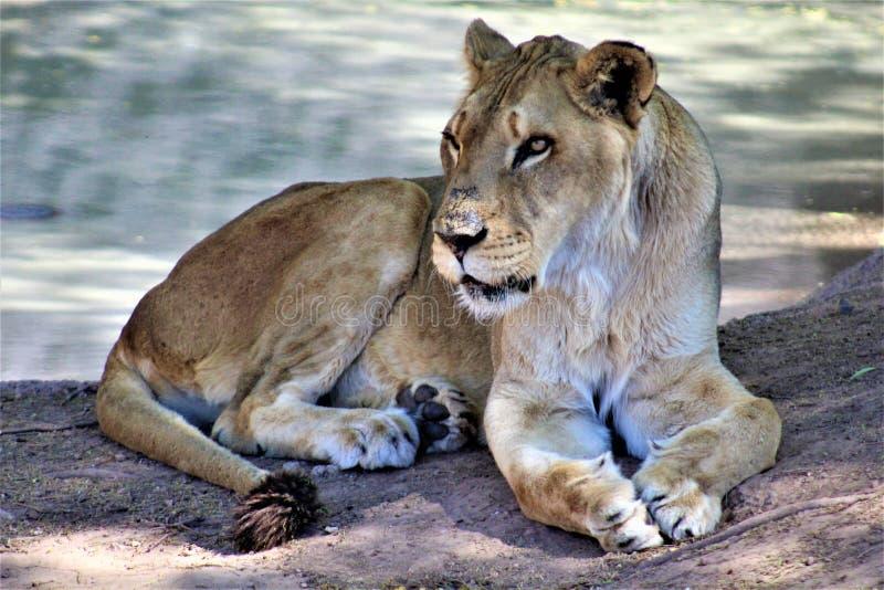 Afrikaanse Leeuw, het Centrum van de Dierentuinarizona van Phoenix voor Natuurbescherming, Phoenix, Arizona, Verenigde Staten stock foto