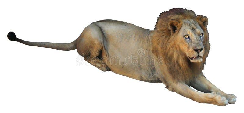 Afrikaanse leeuw op witte achtergrond royalty-vrije stock afbeeldingen
