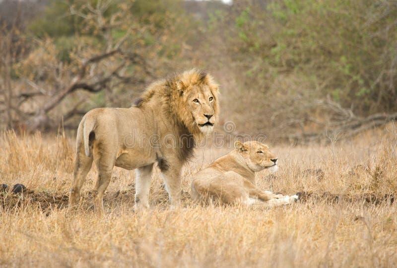 Afrikaanse Leeuw, Afrikaanse Leeuw, Panthera-leo stock foto