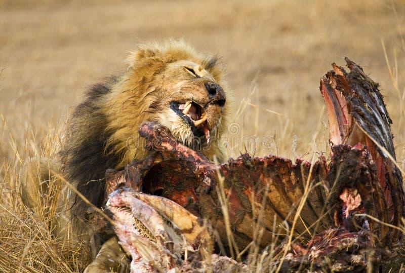 Afrikaanse Leeuw, Afrikaanse Leeuw, Panthera-leo stock foto's