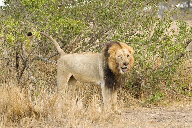 Afrikaanse Leeuw, Afrikaanse Leeuw, Panthera-leo stock fotografie