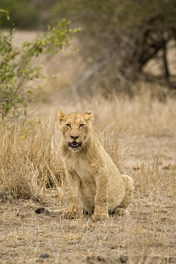 Afrikaanse Leeuw, Afrikaanse Leeuw, Panthera-leo royalty-vrije stock afbeelding