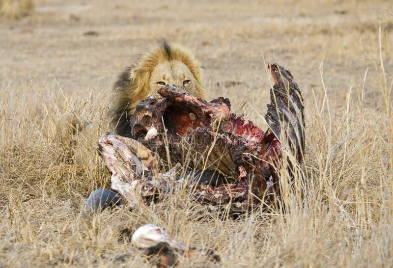 Afrikaanse Leeuw, Afrikaanse Leeuw, Panthera-leo stock afbeeldingen