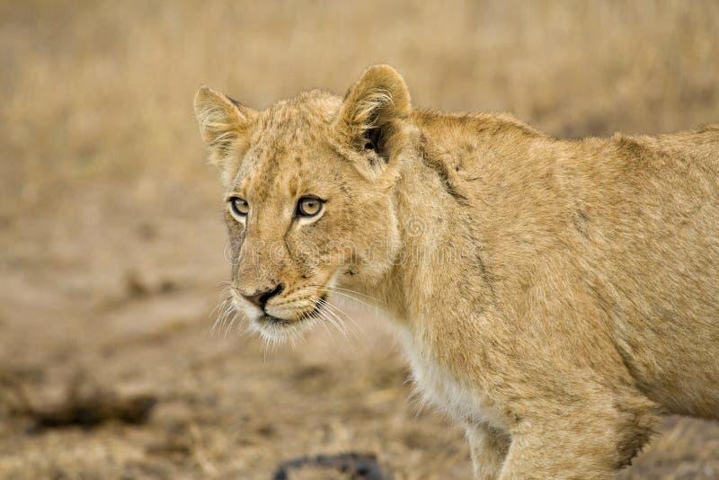 Afrikaanse Leeuw, Afrikaanse Leeuw, Panthera-leo royalty-vrije stock foto