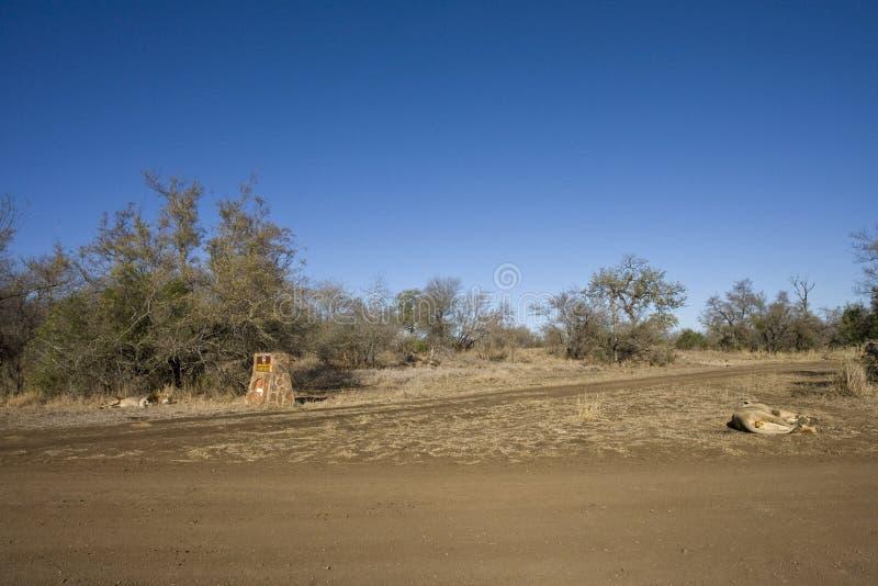 Afrikaanse Leeuw, Afrikaanse Leeuw, Panthera-leo stock afbeelding