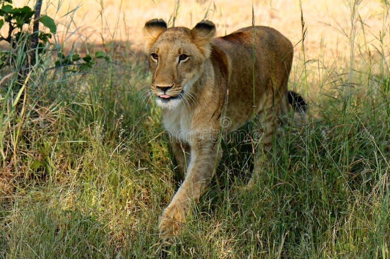 Afrikaanse Leeuw, Zimbabwe, het Nationale Park van Hwange royalty-vrije stock afbeeldingen