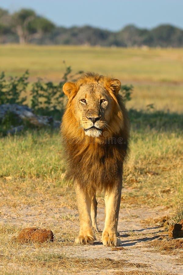 Afrikaanse Leeuw, Zimbabwe, het Nationale Park van Hwange stock afbeeldingen