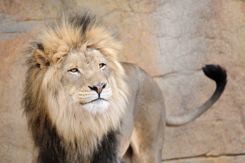 Afrikaanse leeuw zwiepen metde staart royalty-vrije stock foto's